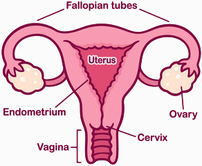 The female reproductive organ